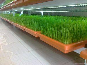 تولید علوفه ارگانیک به روش هیدروپونیک
